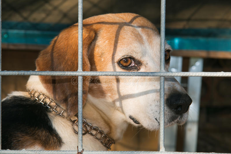 Sad beagle dog abandoned in the kennel royalty free stock photography
