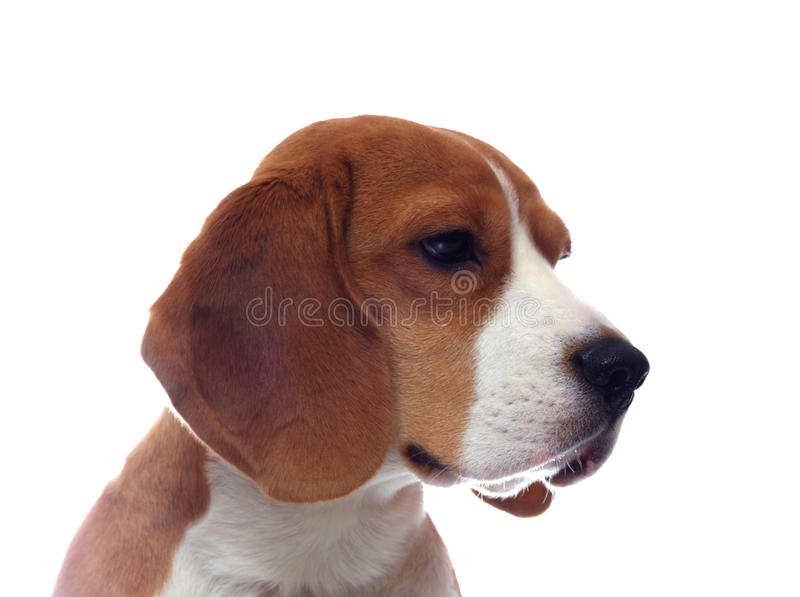 Sad beagle dog portrait isolated on white stock photo