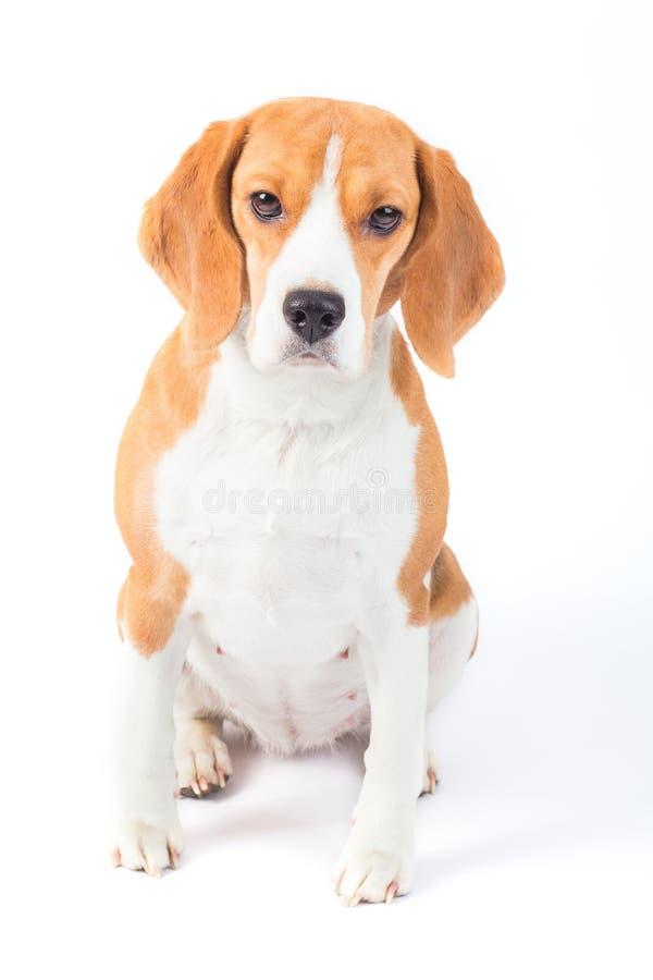 Sad beagle dog portrait royalty free stock photography