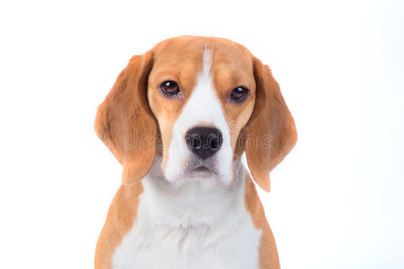 Sad beagle dog portrait stock image