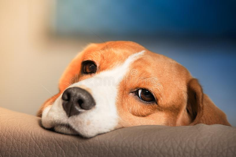 Sad beagle dog royalty free stock images