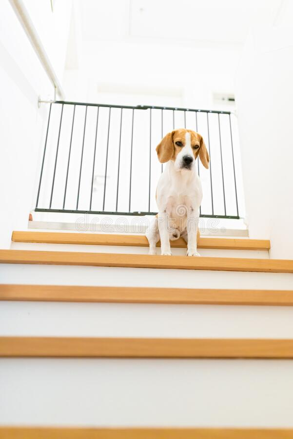 Free Sad Beagle Dog Sitting On Stairs, Way To Bedroom Blocked With Barrier Stock Photo - 192574720