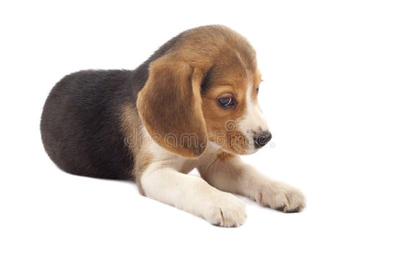 Sad beagle puppy stock photography