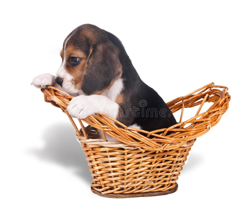 Sad Beagle Puppy In The Basket Royalty Free Stock Image