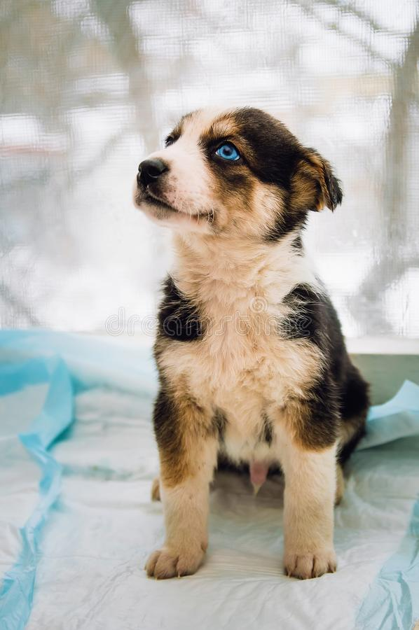 Sad beautiful little puppy with blue eyes. Close-up stock image