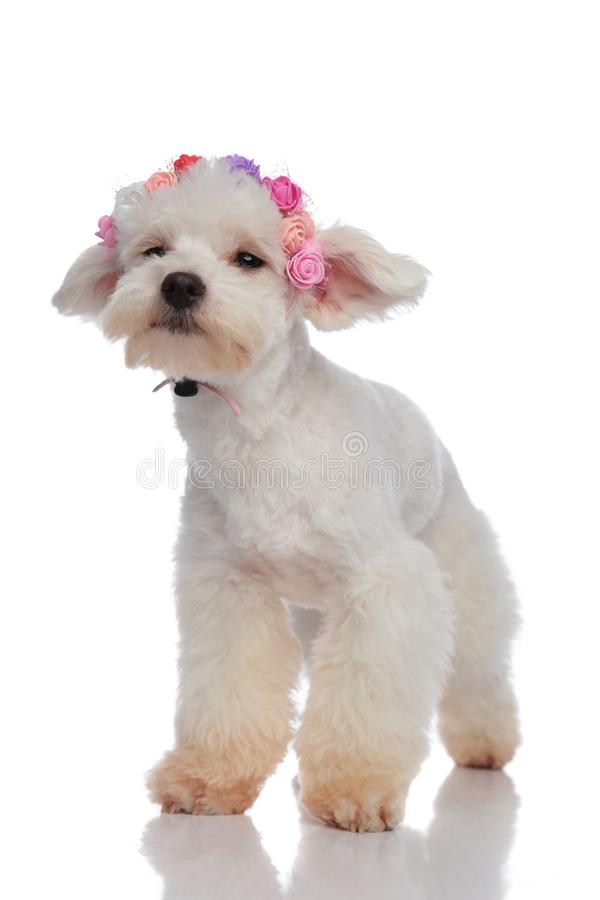 Sad bichon wearing flowers crown while looking to side. Standing on white background royalty free stock photography