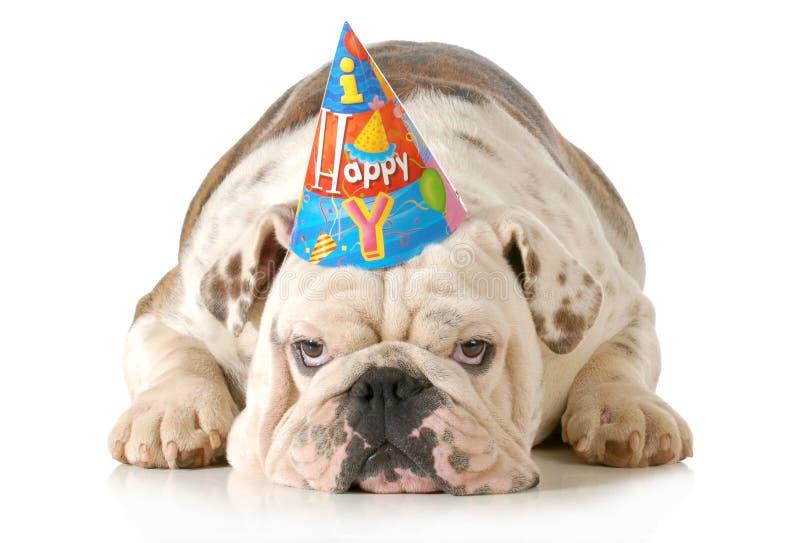 Sad birthday dog. English bulldog wearing birthday hat isolated on white background stock images