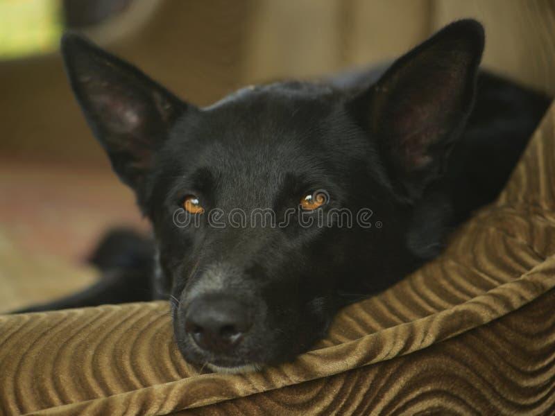 Sad black dog lies royalty free stock photos
