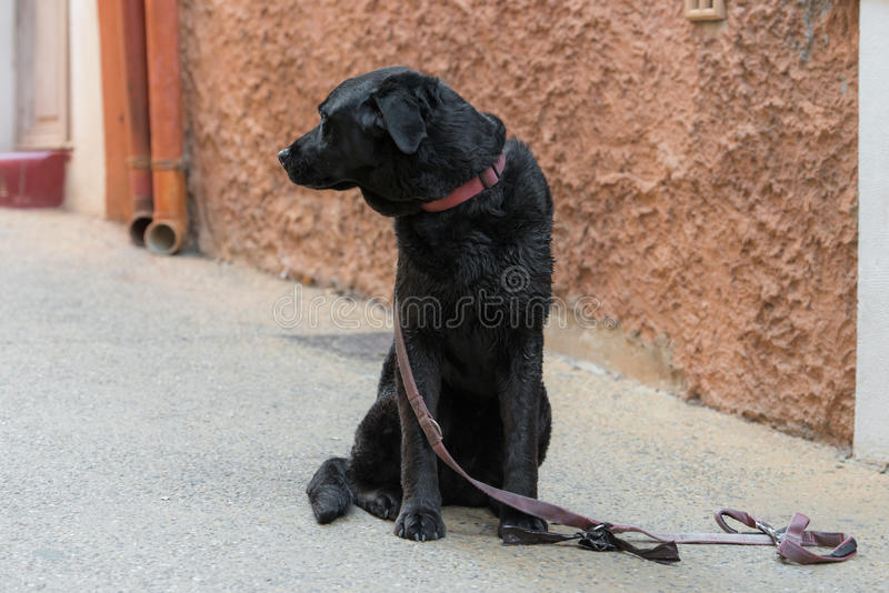 Sad black dog is looking for his lost master royalty free stock photography