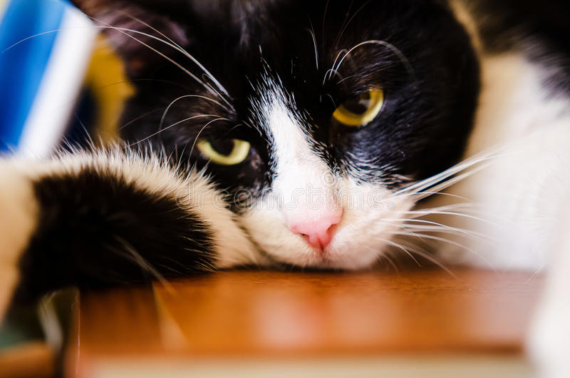Sad black and white cat. Sad looking black and white cat with yellow eyes stock photos