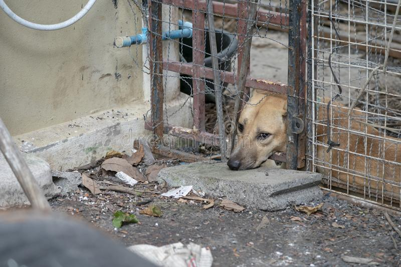 Sad brown Thai dog showing the unhappy from its eye. It`s in the old cage stock image