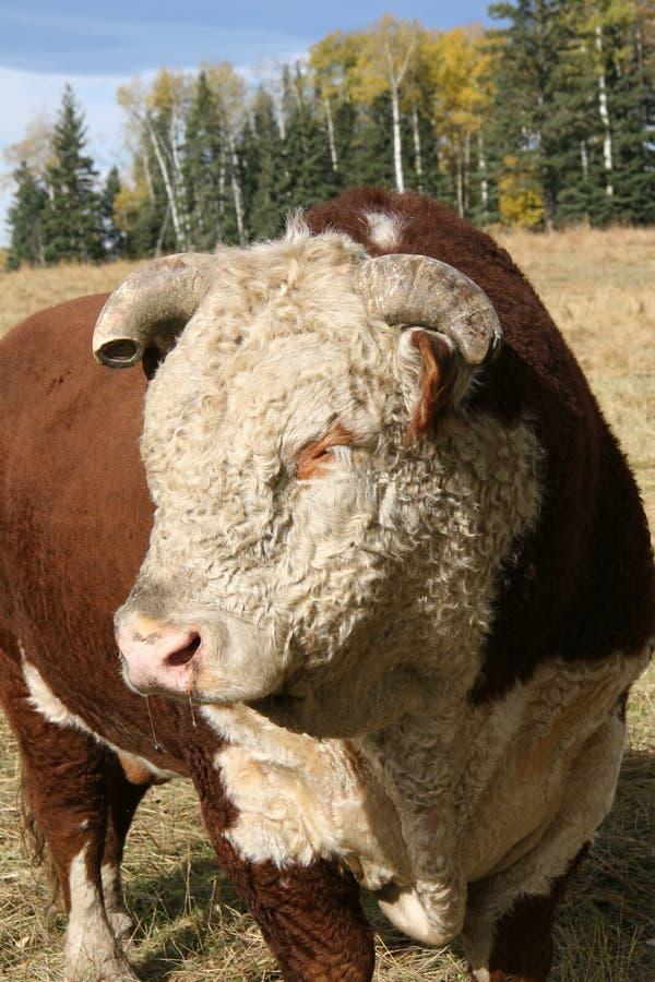Sad Bull stock photos