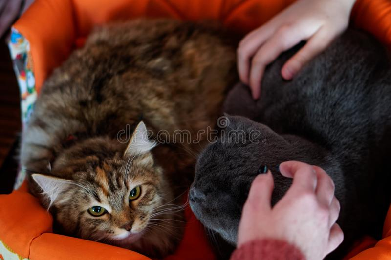 Sad cat in a basket in anticipation of caress. People and Pets royalty free stock images