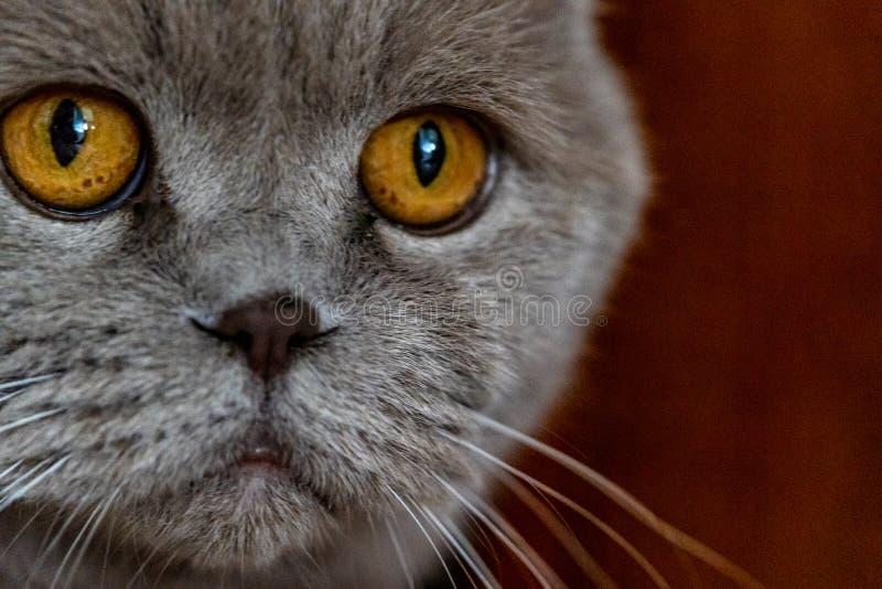 Sad cat close macro shot. With sad eyes futty grey staring away stock photos