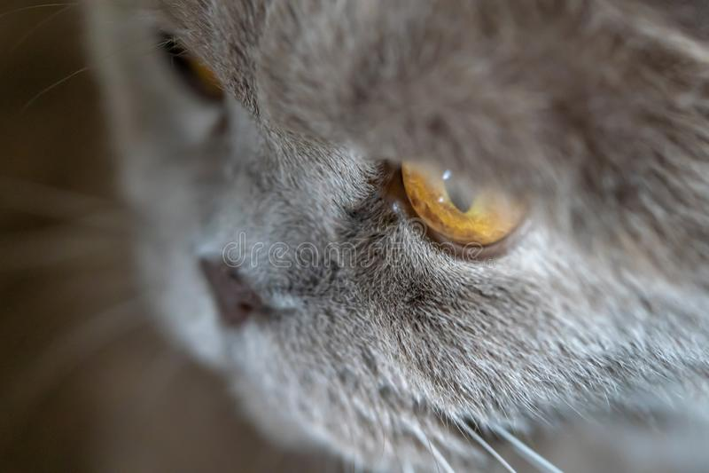 Sad cat close macro shot top. Sad cat close macro shot with sad eyes futty grey staring away stock image