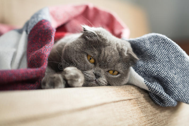 Sad cat lying under blanket at home stock photo