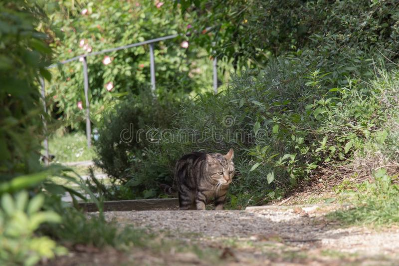 A sad cat is walking in garden royalty free stock images