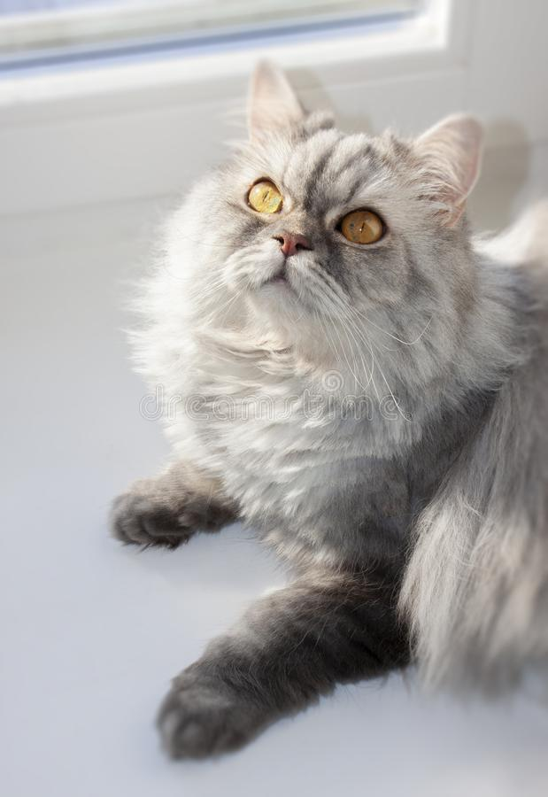 Grey furry cat on the window on a Sunny day royalty free stock photo