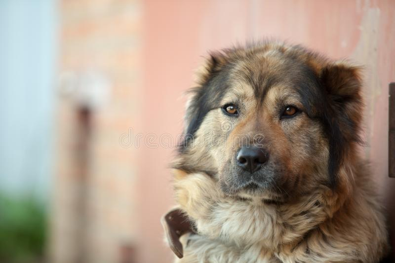 Sad Caucasian shepherd sitting on a chain guarding the house stock photography