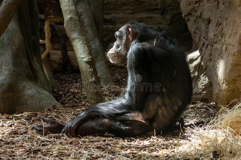 Sad chimpanzee in captivity in a zoo. Sitting on a floor royalty free stock photos