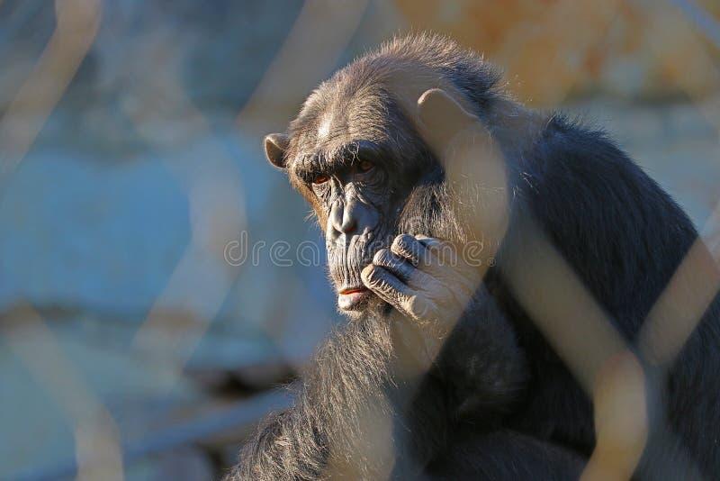 Sad chimpanzee stock photos