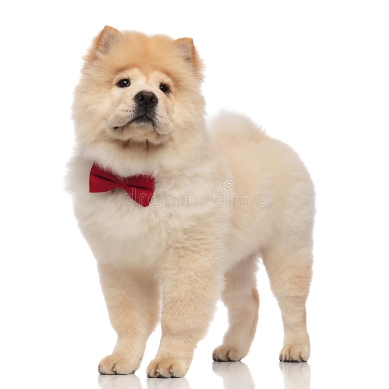 Sad chow chow wearing elegant red bowtie looks to side. While standing on white background royalty free stock images