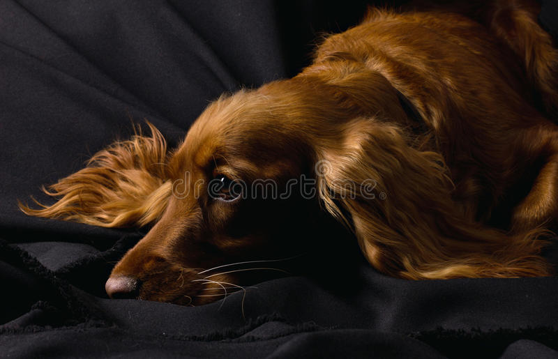 Sad cute cocker spaniel. Resting on black background stock photography