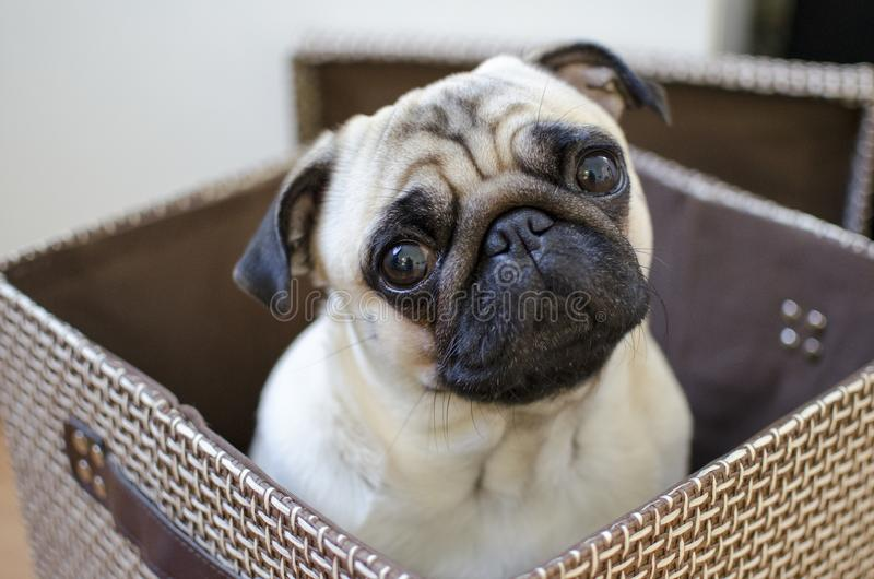 Sad cute small puppy pug hiding in the brown box royalty free stock images