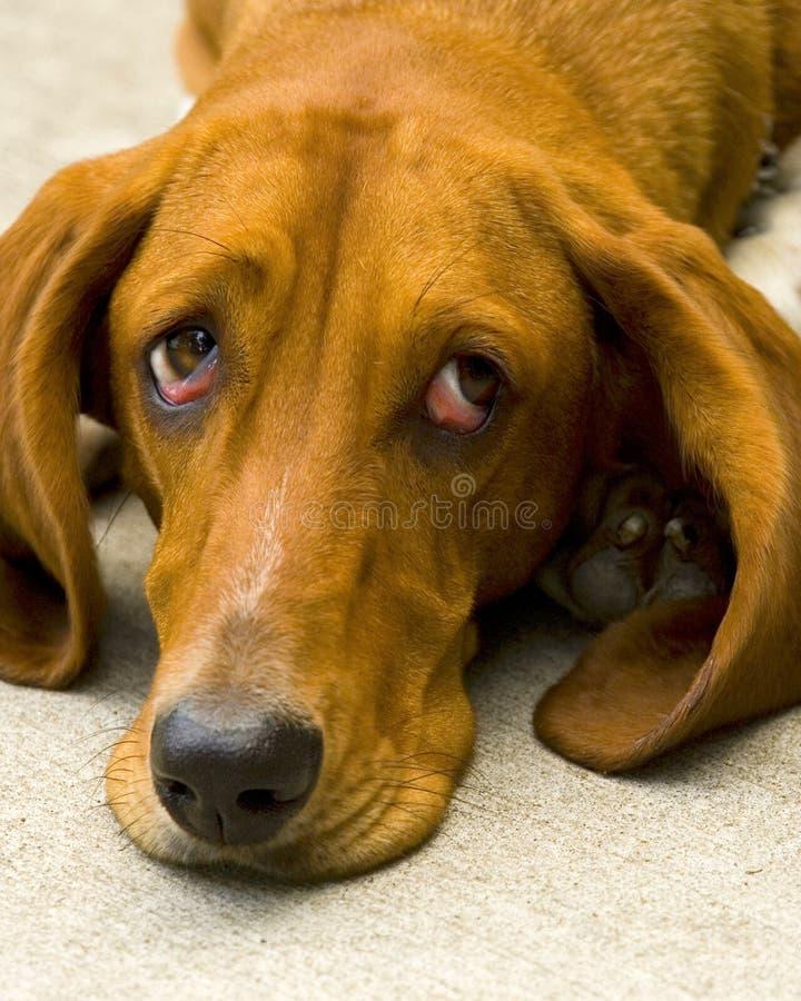 Free Sad Dog Stock Photography - 4686132