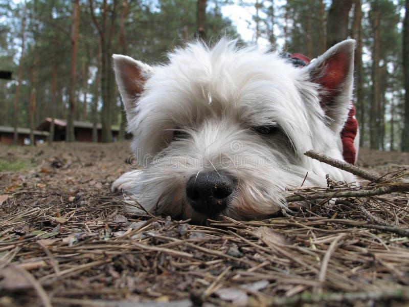 Download Sad dog stock image. Image of westie, wood, west, needles - 6803539