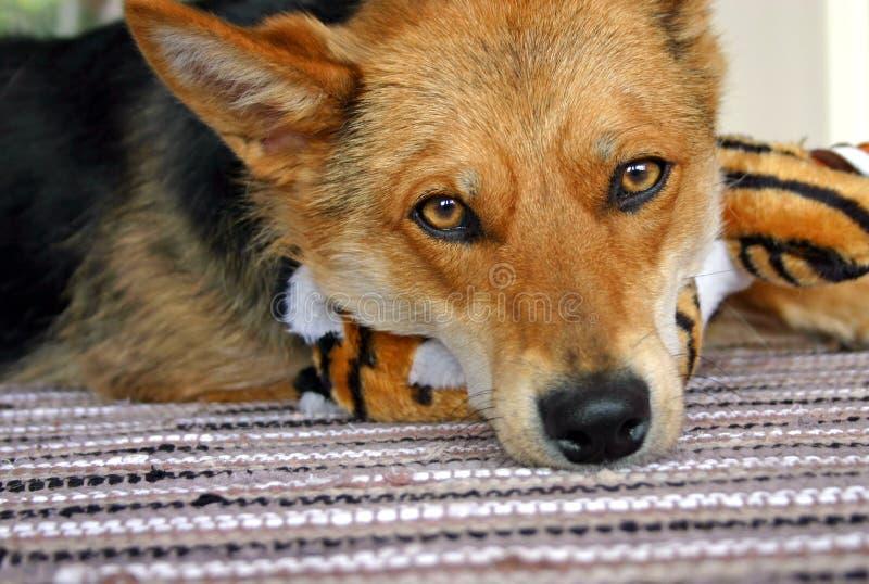 Download Sad Dog stock photo. Image of sorrowful, stripes, eyes - 735432
