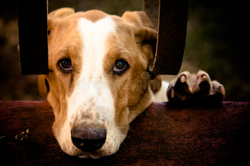 Sad dog Basset Hound with the face and left paw over a cement wall and behind house metal bars looking up to the camera. Retro color tone filter for nostalgic stock photography