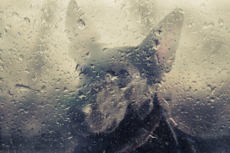 Sad dog behind wet window stock images