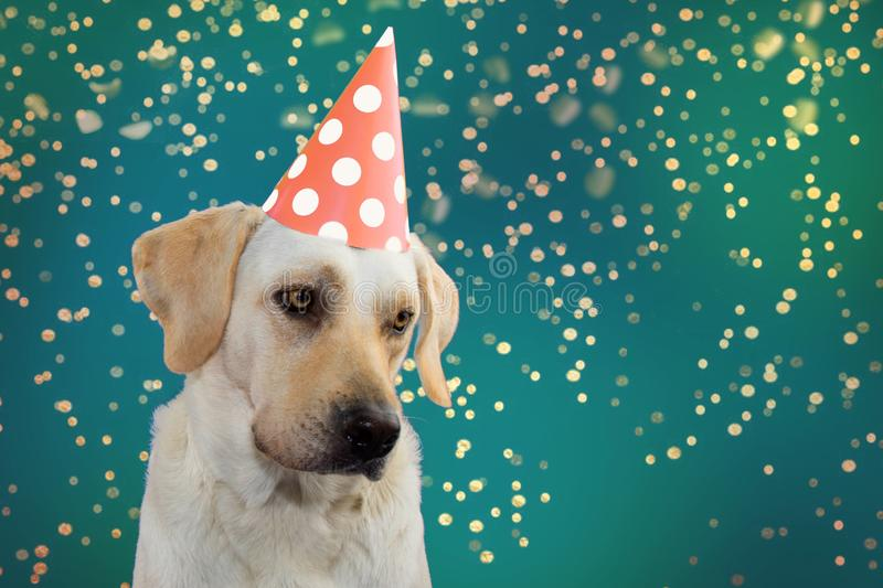 SAD DOG BIRTHDAY, MARDI GRAS OR NEW YEAR. LABRADOR WEARING A SALMON COLORED POLKA DOT HAT PARTY. ISOLATED SHOT AGAINST GREEN. PASTEL BACKGROUNDS. DEFOCUSED stock photos