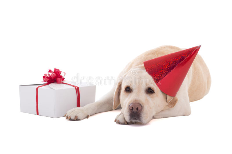 Sad dog (golden retriever) in birthday hat with gift isolated on. White background stock photography