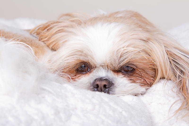 Sad Dog Laying Down Stock Photo. Image Of Portrait
