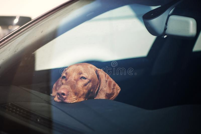 Sad dog left alone in locked car. stock image