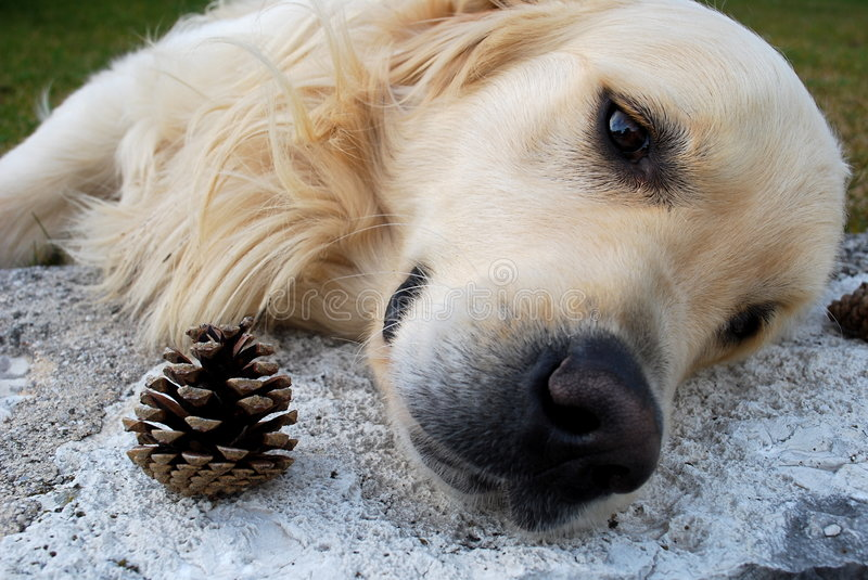 Download Sad Dog And Pinecone Royalty Free Stock Photography - Image: 8498147