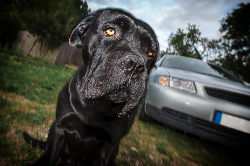 A sad dog in the village. A sad cane corso dog and a car in the village royalty free stock photos