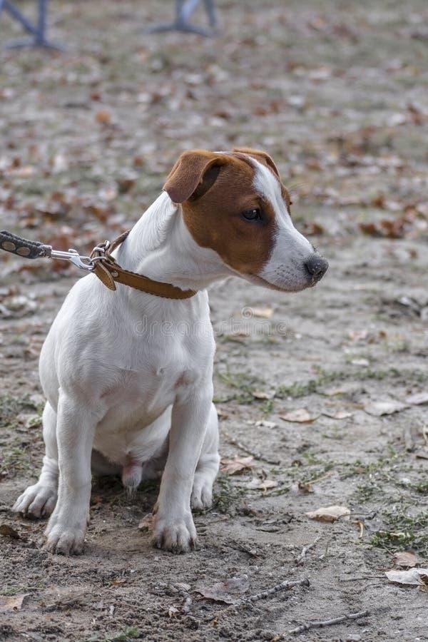 Sad doggy jack russell doodsbange zit op de grond in het wachten stock foto