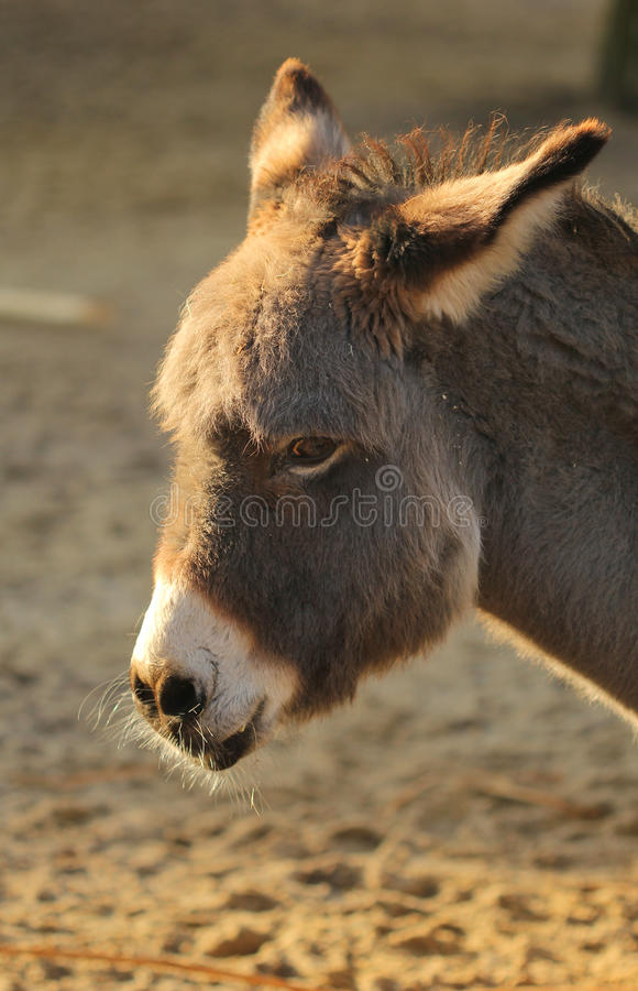 Sad donkey in the sunset light portrait royalty free stock images