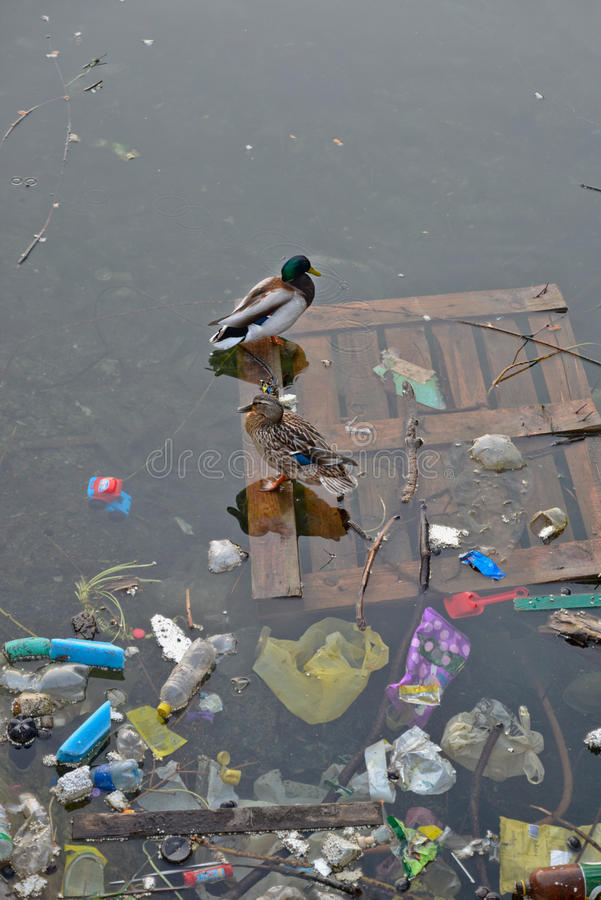Sad ducks. In spring a pair of mallards returned to their pound for nesting and found it polluted