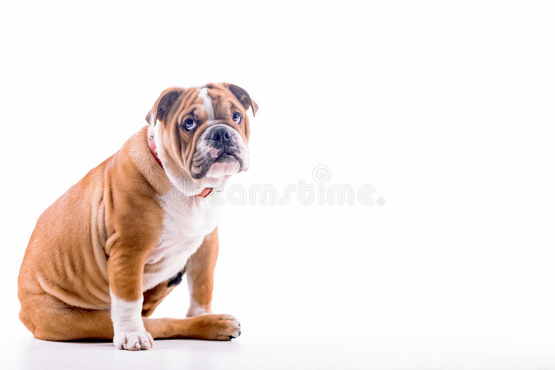 Download SAD engelsk bulldogg arkivfoto. Bild av vän, pedicured - 78727016