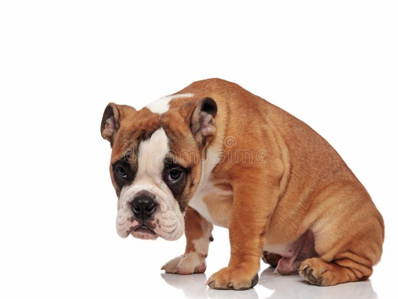 Sad english bulldog sitting with head down. Sad english bulldog sitting on white background with head down royalty free stock image