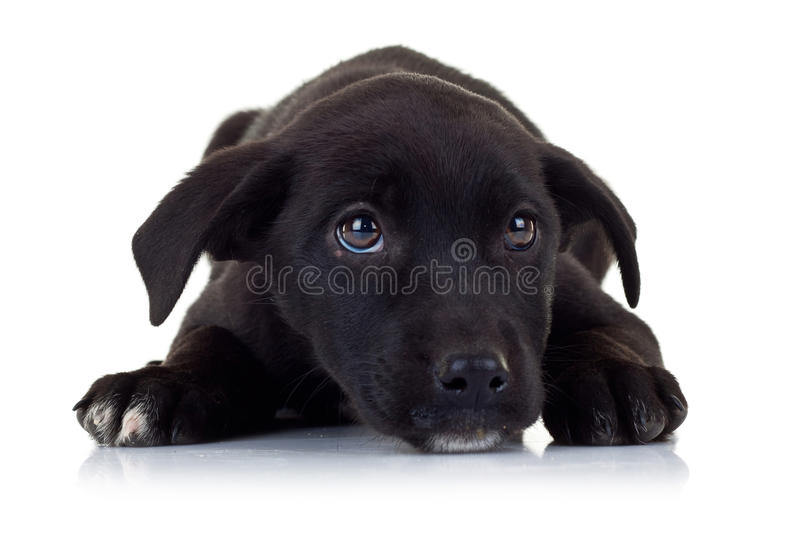 Must see Sad Black Adorable Dog - sad-eyes-black-little-stray-puppy-dog-25090754  Photograph_959347  .jpg