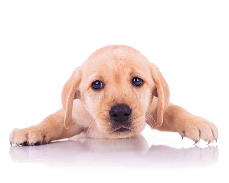 Sad face of a little cute labrador retriever puppy dog. On white background royalty free stock photos