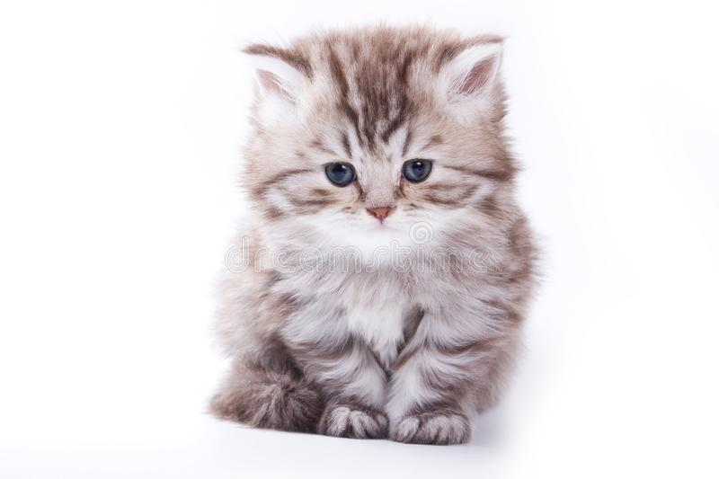 Sad fluffy gray kitten stock photography