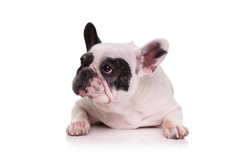 Sad french bulldog lying down and looks to side. On white background stock images