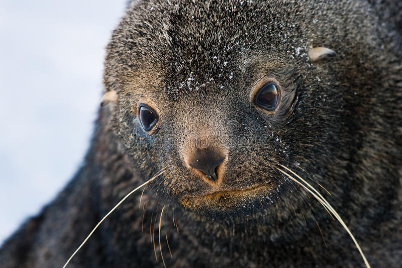 Sad Fur Seal royalty free stock image