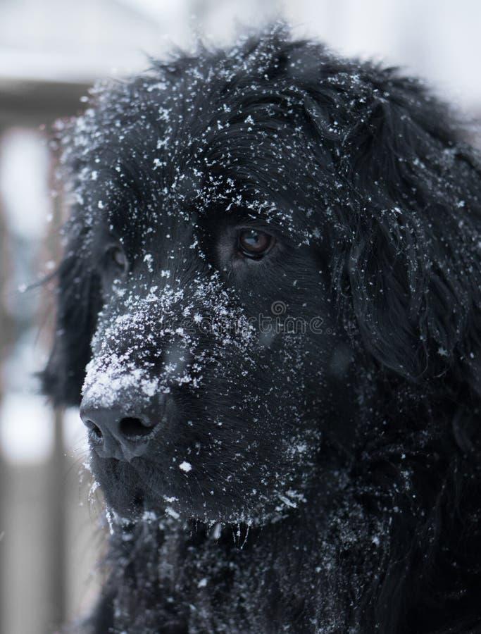 Sad giant black dog face with snowflakes on head. royalty free stock photo